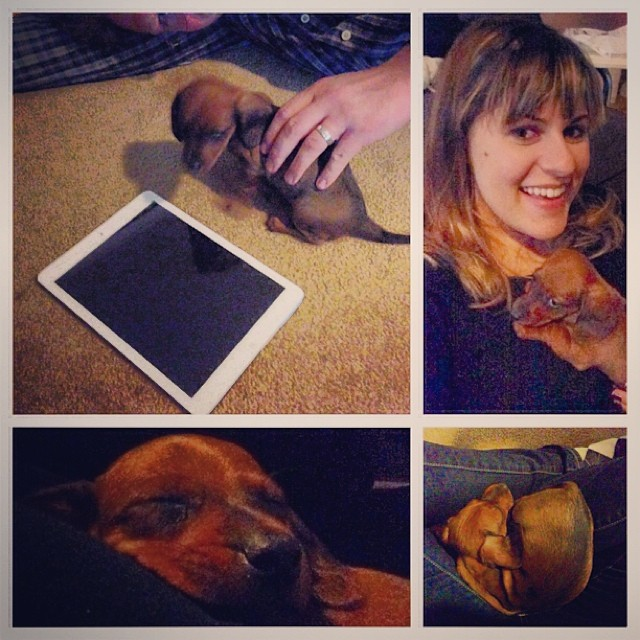 Say hello to our newest member of the family, Mr. Big! #doxie #weeniewithaweenie