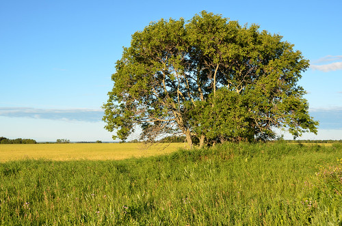 summer tree field landscape august manitoba 8月 hachigatsu 八月 hazuki 2013 葉月 leafmonth マニトバ州 平成25年