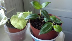 Snow queen pothos cutting (Epipremnum aureum) hangin out with wandering jew cuttings  (Tradescantia zebrina).