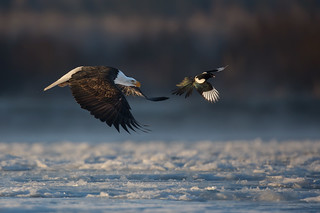Bald Eagle and Black-billed Magpie