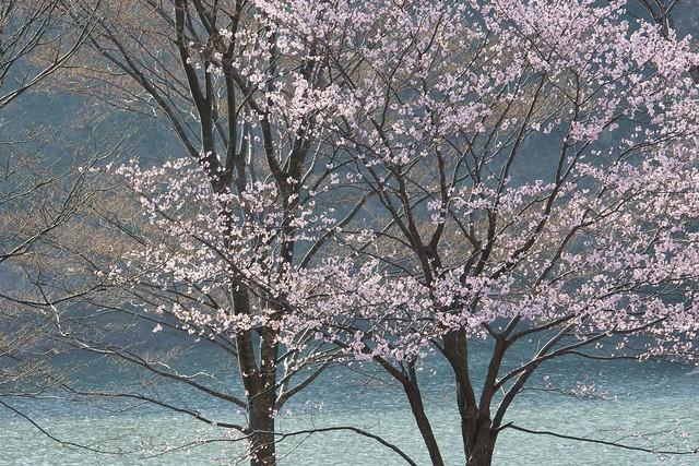 写真_淡奏桜
