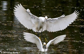 Snowy Egrets Feeding - Lake Martin, Louisiana