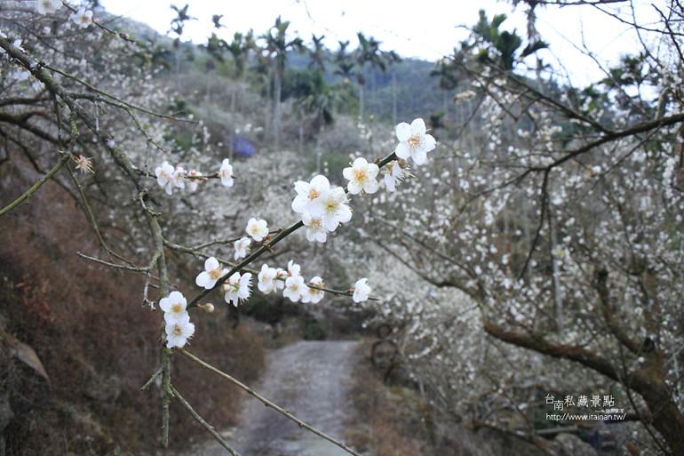 台南私藏景點--梅嶺梅花季  2013 (33)