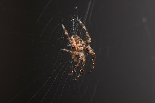 1: Garden Spider