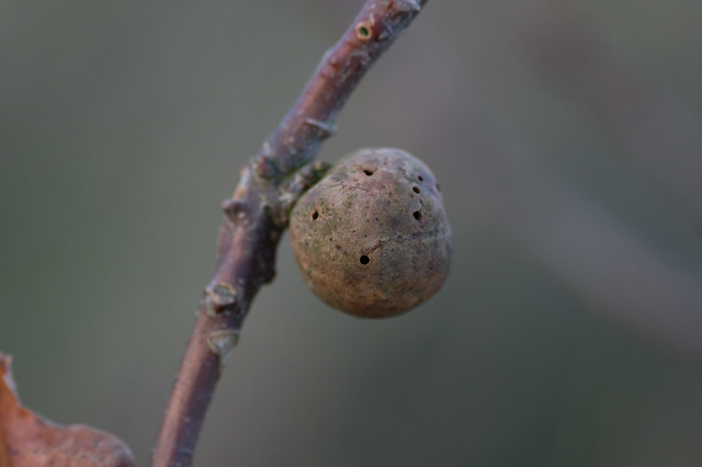 32: Oak Apple (Biorhiza pallida)