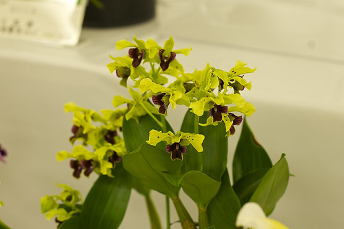 Den. Lemon Lime 'Toshiko'