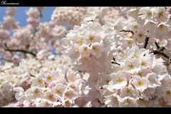 花开如雪  Full Bloom