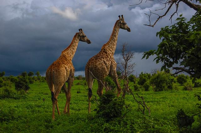 Jirafas en el parque nacional de Chobe. Botsuana.