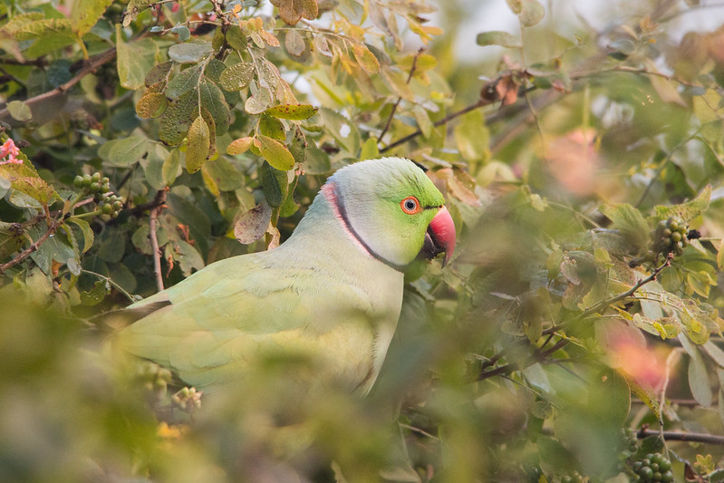 Keoladeo National Park (Bharatpur Bird Sanctuary), Rose-ringed Parakeet - Psittacula krameri, Dec 13-2