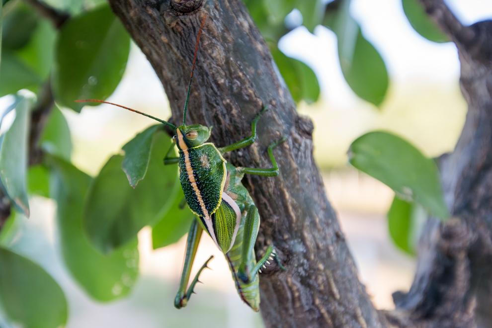 Una curiosa langosta (Staleochlora viridicata) se posa en las ramas de una planta exhibiendo sus intensos colores verde y amarillo. (Tetsu Espósito)