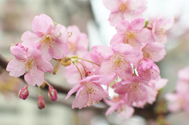 東京路地裏散歩 白金台編 サクラ 2014年3月1日