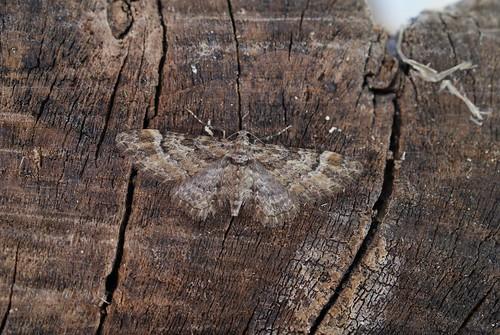 Double-striped Pug (Gymnoscelis rufifasciata)