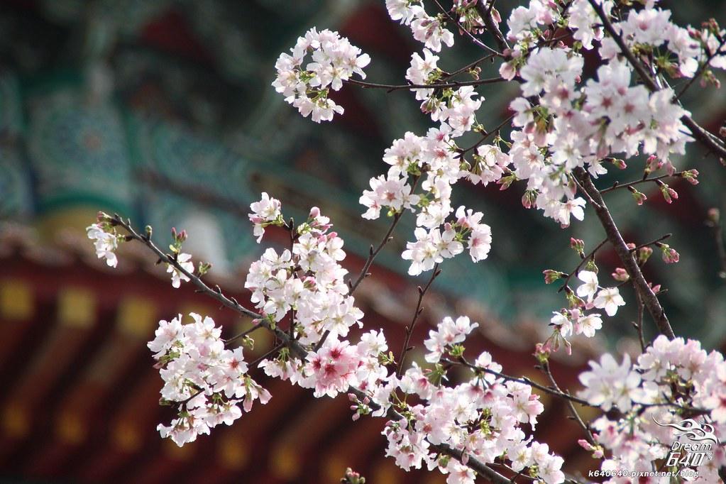 淡水天元宮櫻花-10