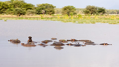 Hippopotamus, Lake Manyara National Park, Tanzania