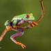 Red eye tree frog D75_7156.jpg by Mobile Lynn