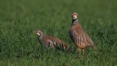 Redlegged partridge  Wikipedia