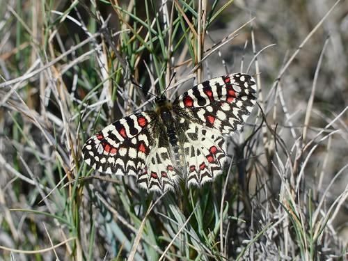 Mariposa arlequín, Zerynthia rumina, hembra.