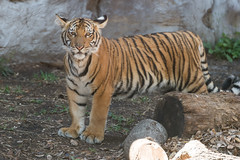 Tiger Cub Standing in Profile