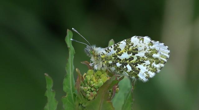 Orange-tip Butterfly - Female      (Anthocharis cardamines)