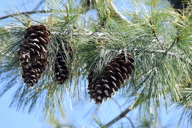 Pine Tree 23.04 (1)