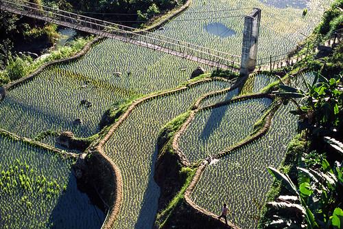 Bridge over paddy fields