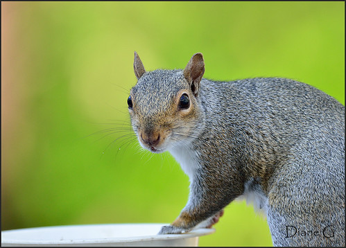 Eastern Grey Squirrel  32