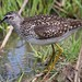Wood sandpiper (Tringa glareola) by saltholme