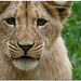 Lion Cub by jplphoto
