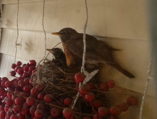 Robin and her babies