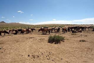 En Mongolia es común encontrar grandes manadas de caballos salvajes por las estepas. El entorno sagrado de las dunas Mongol Els de Mongolia - 9058966008 5109554d28 n - El entorno sagrado de las dunas Mongol Els de Mongolia