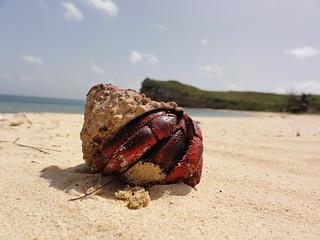 Hermit Crab in Puerto Rico