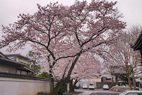 【写真】2013 桜 : 本隆寺/2020-05-19/IMGP9105
