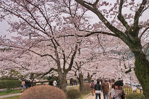 【写真】2013 桜 : 哲学の道/2018-12-24/IMGP9255