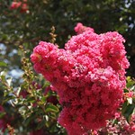 In the neighborhood…Crape Myrtle - 05