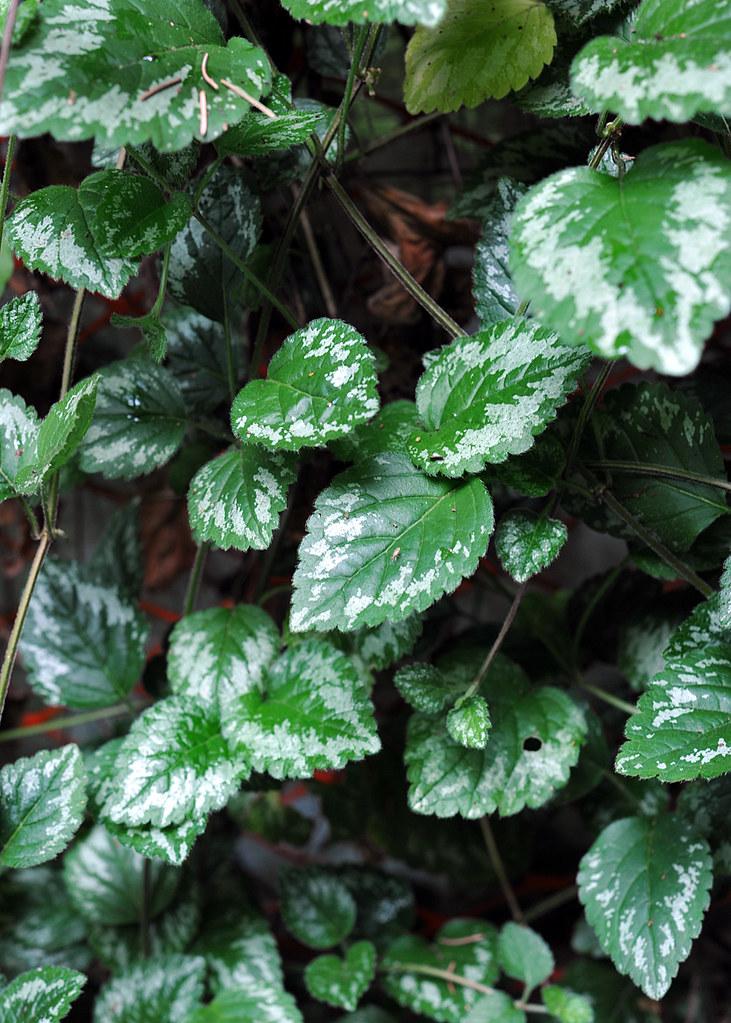 Invasive Plants City Of North Vancouver
