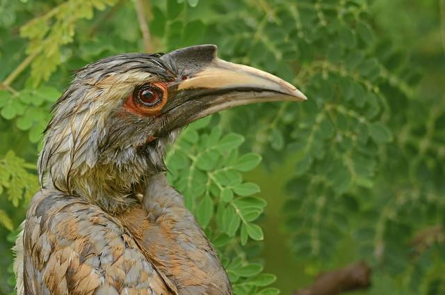 Hornbill [Nikon][D7000][300mm F4 AF-S][India]