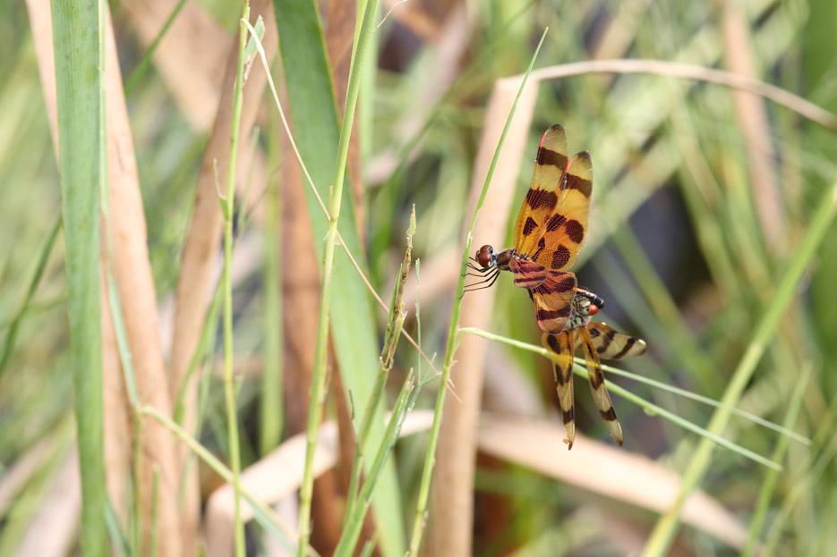 073113_04_bug_dragonfly01