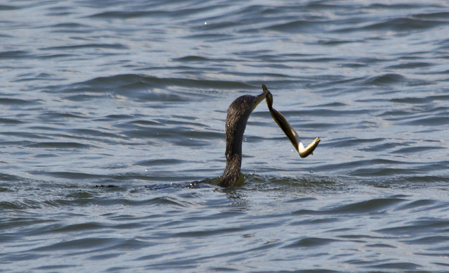 Great Cormorant 0001 - chomping on eel - East Potomac Park - 2013-08-25