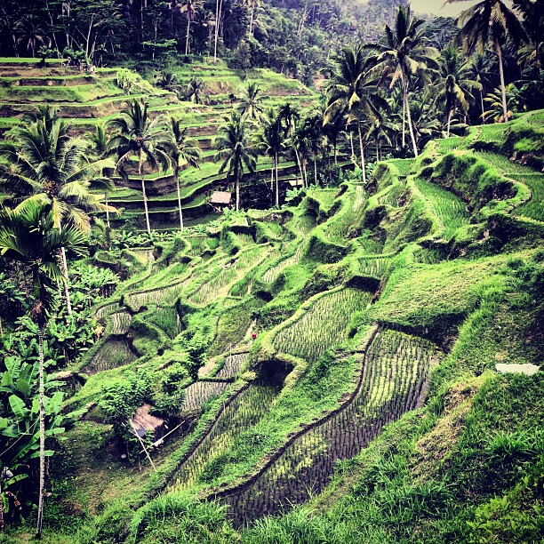 Beautiful #ubud #travel #bali   Padi fields.