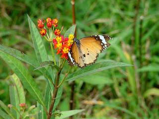 099 Kleine monarchvlinder