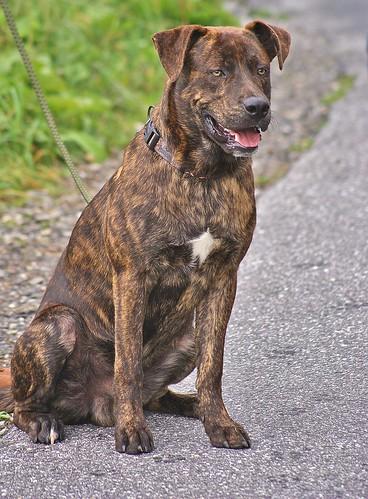 australian brindle hound image dog breeds picture