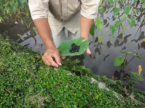 以越橘葉蔓榕鞏固田埂,果實又可當零嘴。(圖片攝影:鄭漢文)
