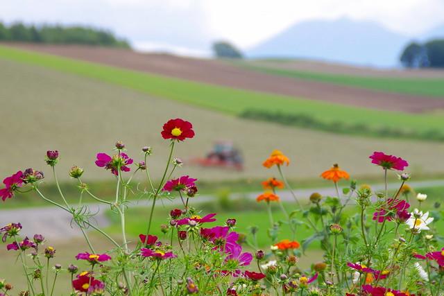 コスモスと牧草刈りの風景