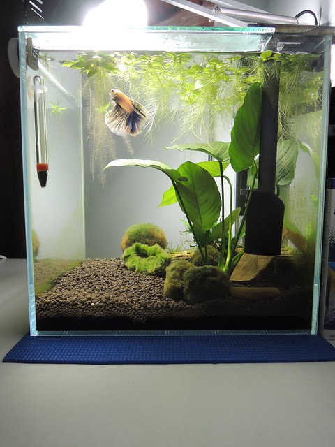 Bettafish finalizing the home the planted tank forum for Betta fish tank temperature