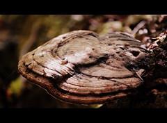 wood, mushroom, macro photography, fungus, lingzhi mushroom, close-up, edible mushroom,