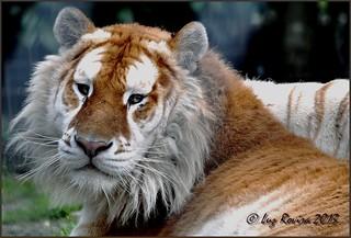 DSC_0947 Saffier, tigre doré /  golden tiger / tigre dorado / Gouden tijger