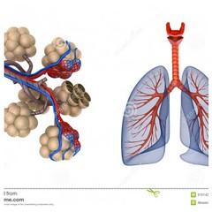 Akciğer alveolleri