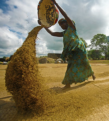 A woman winnows rice in Nigeria