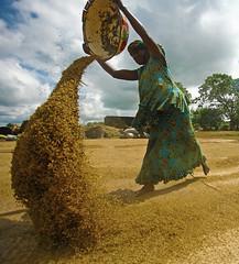 A woman winnows rice in Nigeria