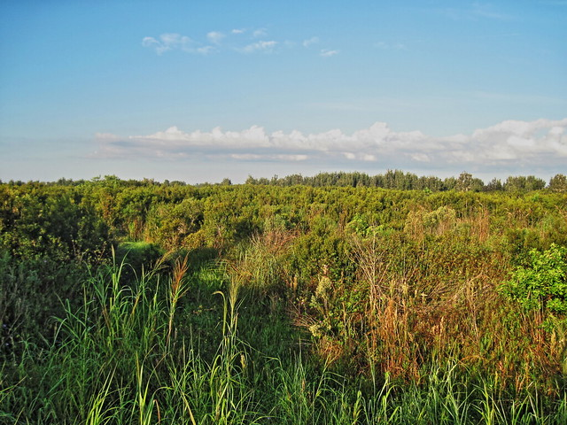 Shrub Overgrowth in wetlands preserve  20131013